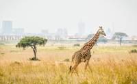 Nairobi - Samburu o Shaba. Primer safari - Kenia Safari Kenia y Tanzania al completo