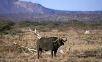 Shaba. Descubre animales que nunca habías visto - Kenia Safari Safari en Kenia: Reserva Nacional Shaba